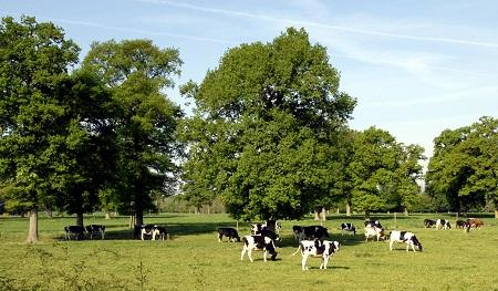 Prim Holstein
